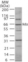 NFKBIZ / IKBZ Antibody - Western blot of IkappaB Zeta using antibody at3 ug/ml in mouse RAW cell lysate.