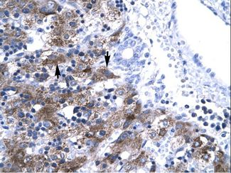 NFYA antibody LS-C31566 was used in IHC to stain formalin-fixed, paraffin-embedded human liver.  This image was taken for the unconjugated form of this product. Other forms have not been tested.