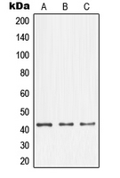 Western blot analysis of NFYA expression in A431 (A); K562 (B); NIH3T3 (C) whole cell lysates.