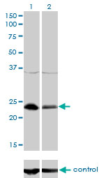 Western blot analysis of NFYB over-expressed 293 cell line, cotransfected with NFYB Validated Chimera RNAi (Lane 2) or non-transfected control (Lane 1). Blot probed with NFYB monoclonal antibody (M01), clone 6H6 . GAPDH ( 36.1 kDa ) used as specificity and loading control.