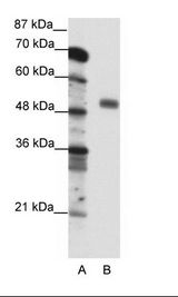 NFYC Antibody - A: Marker, B: Jurkat Cell Lysate.  This image was taken for the unconjugated form of this product. Other forms have not been tested.