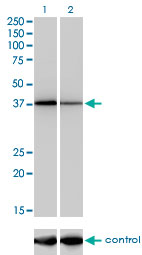 NFYC Antibody - Western blot of NFYC over-expressed 293 cell line, cotransfected with NFYC Validated Chimera RNAi (Lane 2) or non-transfected control (Lane 1). Blot probed with NFYC monoclonal antibody (M01), clone 1D3. GAPDH ( 36.1 kD ) used as specificity and