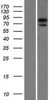 NGLY1 Protein - Western validation with an anti-DDK antibody * L: Control HEK293 lysate R: Over-expression lysate