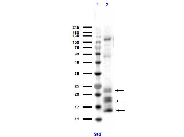 NGP Antibody - Western Blot of rabbit anti-Ngp antibody. Lane 1: MW ladder (opal pre-stained). Lane 2: 32D lysate. Load: 10 µg per lane. Primary antibody: Ngp antibody at 1:1000 for overnight at 4°C. Secondary antibody: rabbit secondary HRP antibody at 1:70,000 for 45 min at RT. Block: BlockOut overnight at 4°C. Predicted/Observed size: 17, 20 kDa for Ngp. Higher banding due to glycosylation. ~125 kDa non-specific.