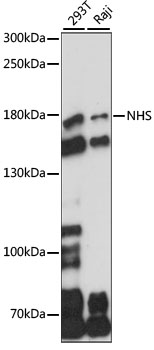 NHS Antibody - Western blot analysis of extracts of various cell lines, using NHS antibody at 1:1000 dilution. The secondary antibody used was an HRP Goat Anti-Rabbit IgG (H+L) at 1:10000 dilution. Lysates were loaded 25ug per lane and 3% nonfat dry milk in TBST was used for blocking. An ECL Kit was used for detection and the exposure time was 30s.