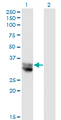 Western Blot analysis of NIT1 expression in transfected 293T cell line by NIT1 monoclonal antibody (M01), clone 1C3.Lane 1: NIT1 transfected lysate (Predicted MW: 35.9 KDa).Lane 2: Non-transfected lysate.