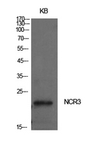 NKP30 Antibody - Western Blot analysis of extracts from KB cells using NCR3 Antibody.