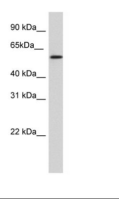 SP2/0 Cell Lysate.  This image was taken for the unconjugated form of this product. Other forms have not been tested.