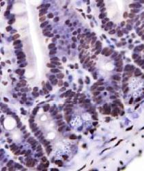 Nkx6.1 Antibody - IHC staining of Nkx6.1 in mouse intestine.  This image was taken for the unconjugated form of this product. Other forms have not been tested.