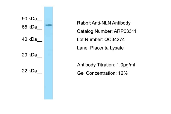 NLN / Neurolysin Antibody -  This image was taken for the unconjugated form of this product. Other forms have not been tested.