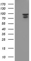 HEK293T cells were transfected with the pCMV6-ENTRY control (Left lane) or pCMV6-ENTRY NLN (Right lane) cDNA for 48 hrs and lysed. Equivalent amounts of cell lysates (5 ug per lane) were separated by SDS-PAGE and immunoblotted with anti-NLN.