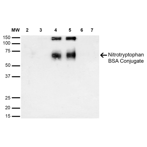 NO Tryptophan (Nitrotryptophan) Antibody - Western Blot analysis of 6-Nitrotryptophan-BSA Conjugate showing detection of 67 kDa Nitrotryptophan protein using Mouse Anti-Nitrotryptophan Monoclonal Antibody, Clone 2D12. Lane 1: Molecular Weight Ladder (MW). Lane 2: BSA (0.5 µg). Lane 3: BSA (1 µg). Lane 4: 6-Nitrotryptophan-BSA (0.5 µg). Lane 5: 6-Nitrotryptophan-BSA (1 µg). Lane 6: 7-Ketocholesterol-BSA (0.5 µg). Lane 7: 7-Ketocholesterol-BSA (1 µg). Block: 5% Skim Milk in TBST. Primary Antibody: Mouse Anti-Nitrotryptophan Monoclonal Antibody  at 1:1000 for 2 hours at RT. Secondary Antibody: Goat Anti-Mouse IgG: HRP at 1:2000 for 60 min at RT. Color Development: Luminol for 1 min. Predicted/Observed Size: 67 kDa.