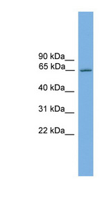 Nor-1 / NR4A3 Antibody - NR4A3 antibody Western blot of Mouse Brain lysate. This image was taken for the unconjugated form of this product. Other forms have not been tested.
