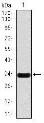 NOS2 / iNOS Antibody - Western Blot: iNOS Antibody (4E5) - Western blot analysis using iNOS mAb against human iNOS (aa997-1058) recombinant protein. (Expected MW is 32.6 kDa)