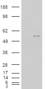 HEK293 overexpressing NOVA1 (RC210407) and probed with (mock transfection in first lane).