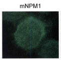 Detection of mutant nucleophosmin in OCI-AML3 lysates.  This image was taken for the unconjugated form of this product. Other forms have not been tested.