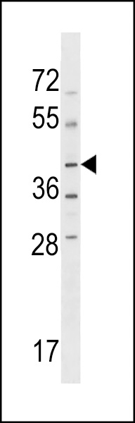 NPRL2 Antibody western blot of HL-60 cell line lysates (35 ug/lane). The NPRL2 antibody detected the NPRL2 protein (arrow).