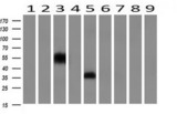 Western blot of extracts (10ug) from 9 Human tissue by using anti-NPTN monoclonal antibody at 1:200 (1: Testis; 2: Omentum; 3: Uterus; 4: Breast; 5: Brain; 6: Liver; 7: Ovary; 8: Thyroid gland; 9: Colon).