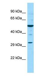 NR0B1 / DAX1 antibody Western Blot of Mouse Testis.  This image was taken for the unconjugated form of this product. Other forms have not been tested.