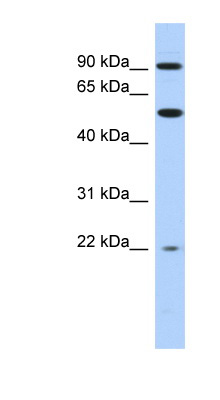 NR1D2 antibody LS-C109821 Western blot of THP-1 cell lysate.  This image was taken for the unconjugated form of this product. Other forms have not been tested.