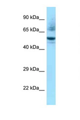 NR1H3 / LXR Alpha antibody Western blot of Mouse Heart lysate. Antibody concentration 1 ug/ml.  This image was taken for the unconjugated form of this product. Other forms have not been tested.