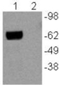 Western Blot of PMA and ionomycin-stimulated (lane 1) and unstimulated mouse thymocytes (lane 2) with 5 ug/mL anti-mouse Nur77 antibody. The band was visualized using HRP-conjugated rat anti-mouse IgG.