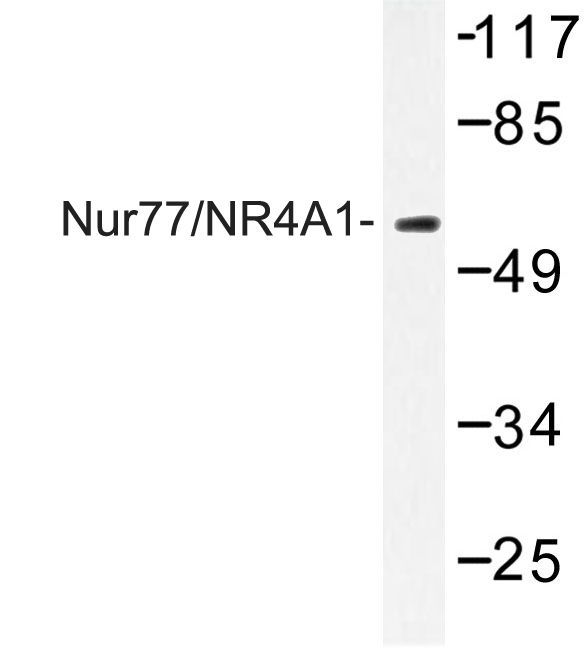 Western blot of Nur77/NR4A1 (G347) pAb in extracts from Jurkat cells.