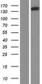 NRDE2 / C14orf102 Protein - Western validation with an anti-DDK antibody * L: Control HEK293 lysate R: Over-expression lysate