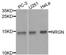 NRGN / Neurogranin Antibody - Western blot analysis of extracts of various cells.