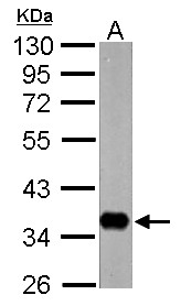 nrv1 Antibody - Sample (30 ug of whole cell lysate) A: Drosophila lysate 10% SDS PAGE nrv1 antibody diluted at 1:10000