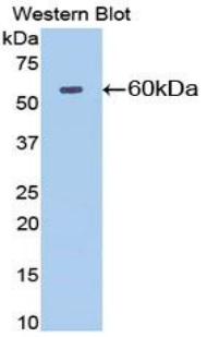 Western blot of recombinant NT5E / eNT / CD73.  This image was taken for the unconjugated form of this product. Other forms have not been tested.