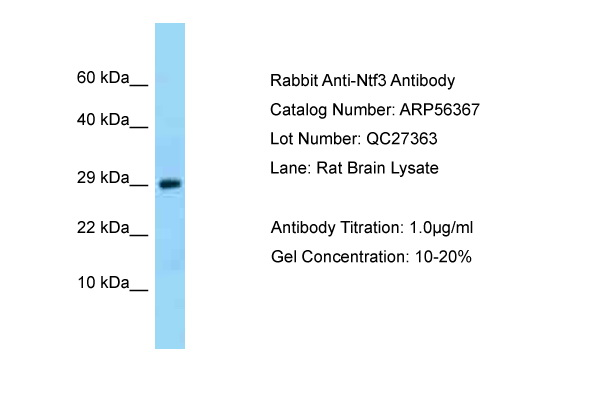 NTF3 / Neurotrophin 3 Antibody -  This image was taken for the unconjugated form of this product. Other forms have not been tested.