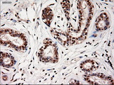 Immunohistochemical staining of paraffin-embedded breast using anti-NTF4 mouse monoclonal antibody.