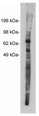 Western blot of Netrin 1, rabbit polyclonal at 5 ug/ml on MDCKII cell extract (10 ug/lane). Blots were developed with goat anti-rabbit Ig (1:100k) and Pierce Supersignal West Femto system.