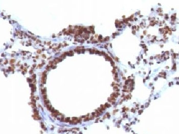 Formalin-fixed, paraffin-embedded rat lung stained with Nuclear marker antibody (NM106).  This image was taken for the unmodified form of this product. Other forms have not been tested.