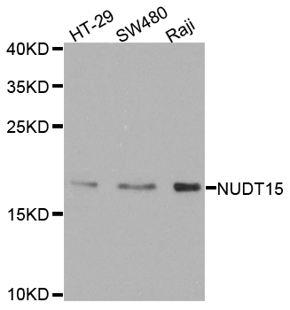 NUDT15 Antibody - Western blot analysis of extracts of various cell lines.