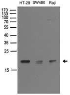 NUDT15 Antibody - Western blot analysis of extracts. (35ug) from different cell lines or tissues by using anti-NUDT15 rabbit polyclonal antibody .