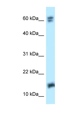 NUDT2 antibody Western blot of 293T Cell lysate. Antibody concentration 1 ug/ml.  This image was taken for the unconjugated form of this product. Other forms have not been tested.
