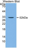 NUP50 Antibody - Western blot of recombinant NUP50.
