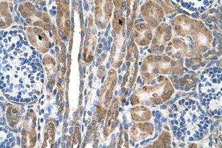 FAM55D antibody LS-C40508 IHC of formalin-fixed, paraffin-embedded human Kidney. Positive label: Epithelial cells of renal tubule indicated with arrows. Antibody concentration 4-8 ug/ml. Magnification 400X.  This image was taken for the unconjugated form of this product. Other forms have not been tested.