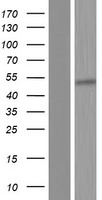 OAS1 Protein - Western validation with an anti-DDK antibody * L: Control HEK293 lysate R: Over-expression lysate