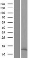 OCM / Oncomodulin Protein - Western validation with an anti-DDK antibody * L: Control HEK293 lysate R: Over-expression lysate