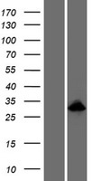 ODAM Protein - Western validation with an anti-DDK antibody * L: Control HEK293 lysate R: Over-expression lysate