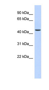OGDH antibody Western blot of Fetal Liver lysate. This image was taken for the unconjugated form of this product. Other forms have not been tested.