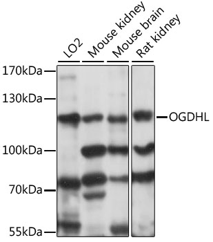 OGDHL Antibody - Western blot analysis of extracts of various cell lines, using OGDHL antibody at 1:1000 dilution. The secondary antibody used was an HRP Goat Anti-Rabbit IgG (H+L) at 1:10000 dilution. Lysates were loaded 25ug per lane and 3% nonfat dry milk in TBST was used for blocking. An ECL Kit was used for detection and the exposure time was 5s.