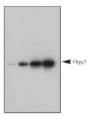 1, 5, 10 ng titration of human recombinant Ogg1 protein, detected by Ogg1  (8-Oxoguanine DNA-Glycosylase) Antibody.  This image was taken for the unconjugated form of this product. Other forms have not been tested.