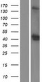 OGG1 Protein - Western validation with an anti-DDK antibody * L: Control HEK293 lysate R: Over-expression lysate