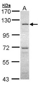 Sample (30 ug of whole cell lysate). A: HeLa. 7.5% SDS PAGE. OGT / O-GLCNAC antibody diluted at 1:1000