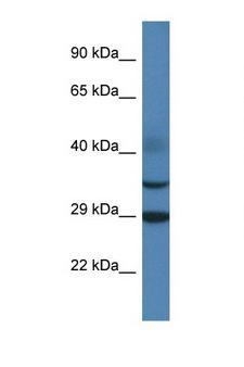 OLIG3 Antibody - OLIG3 antibody Western blot of Rat Muscle lysate. Antibody concentration 1 ug/ml.  This image was taken for the unconjugated form of this product. Other forms have not been tested.