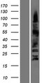 OLIG3 Protein - Western validation with an anti-DDK antibody * L: Control HEK293 lysate R: Over-expression lysate